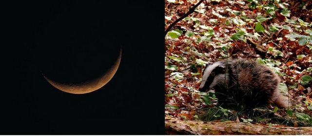 badger-and-new-moon